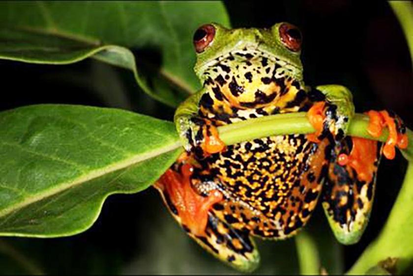 São Tomé Giant Tree Frog-1